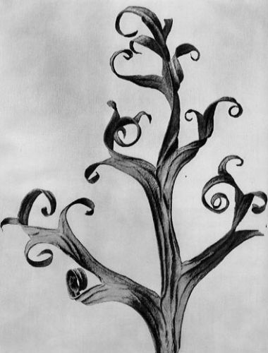 Large_WL_Photo_Karl Blossfeldt 003